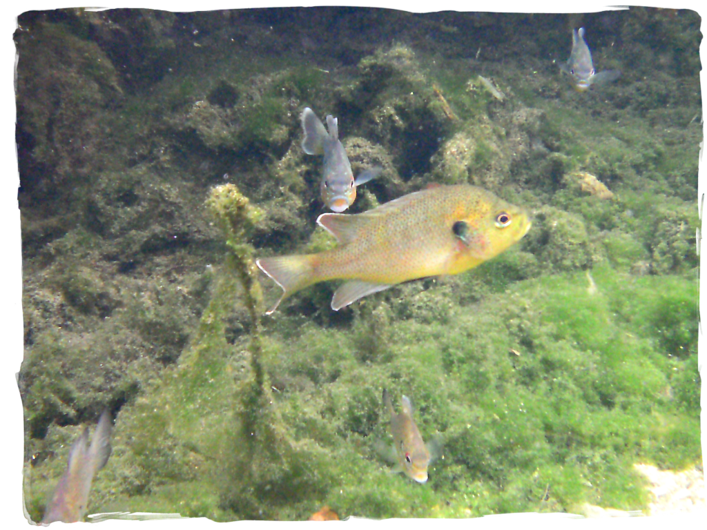 florida fish, fish in springs