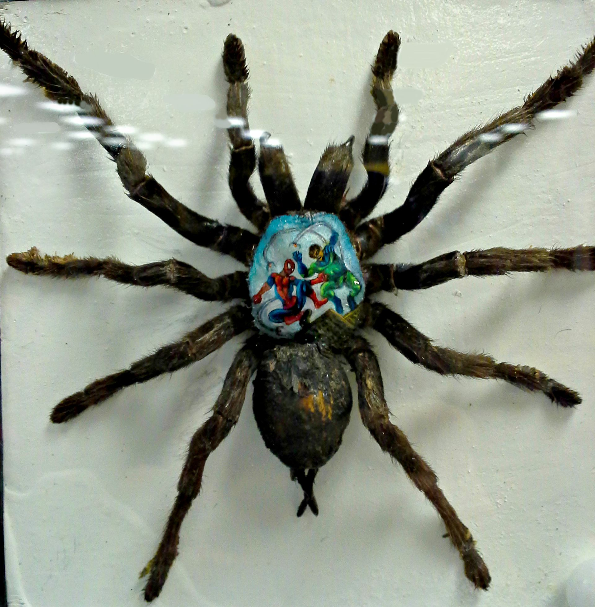 Spiderman scene painted on a tarantual. Believe it or not. #it'sreal #freakystuff #geekery